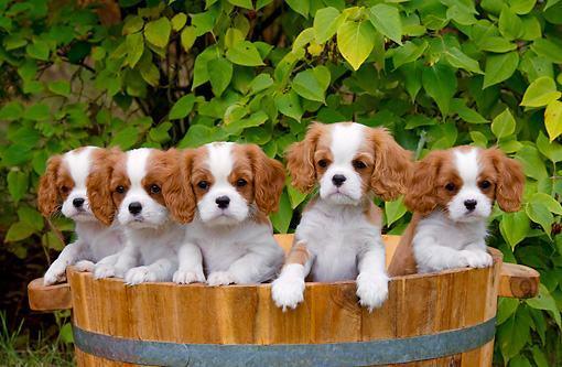 Cães Cavalier King Charles Spaniel