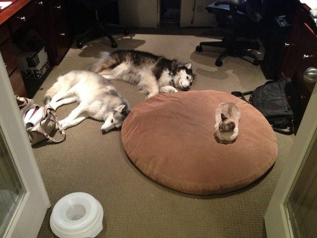 Cães perto de gato em cama