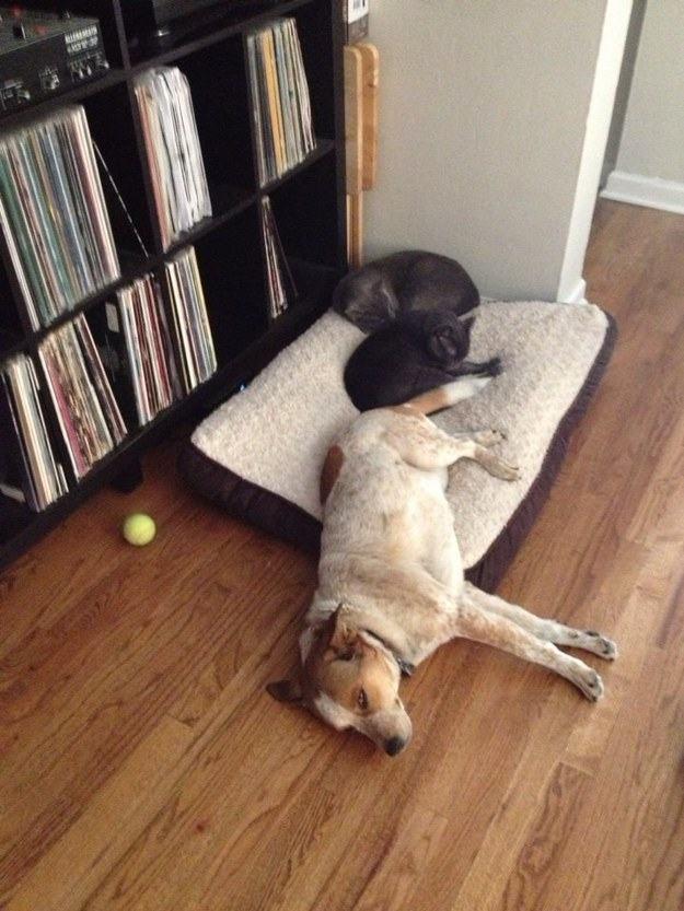 Cão deitado com dois gatos