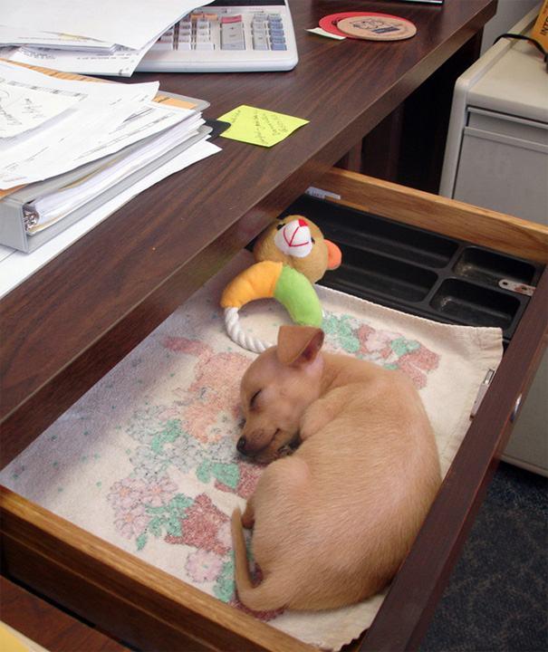 Cão dormindo dentro de gaveta