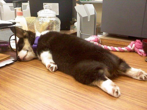 Cão dormindo em mesa de trabalho