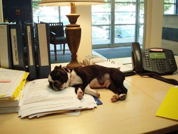 Cão dormindo em pilha de documentos