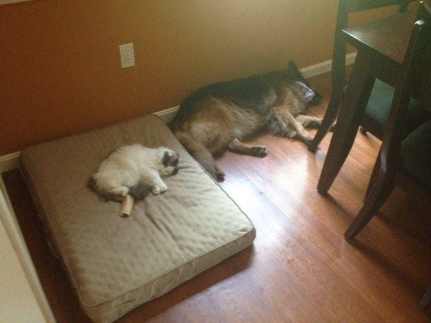 Cão e gato deitados perto de mesa