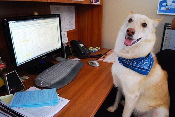 Cão em frente de mesa de computador
