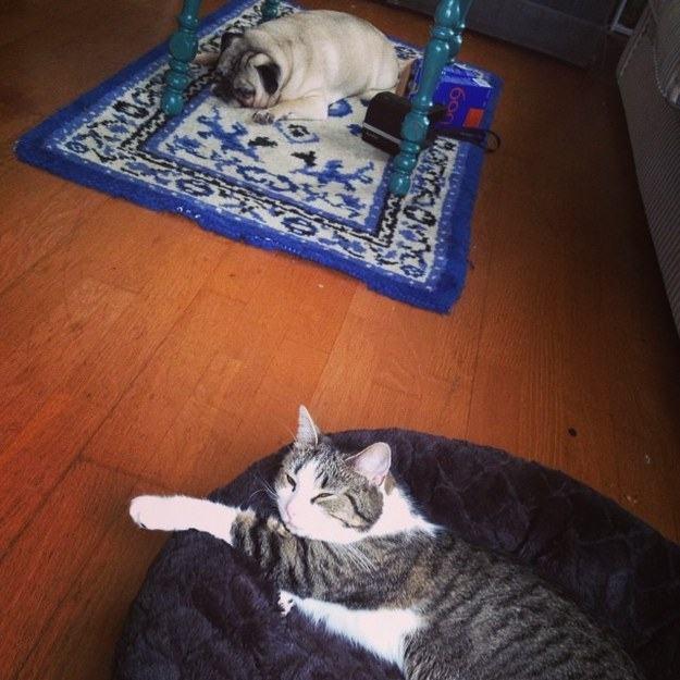 Cão em tapete e gato em cama