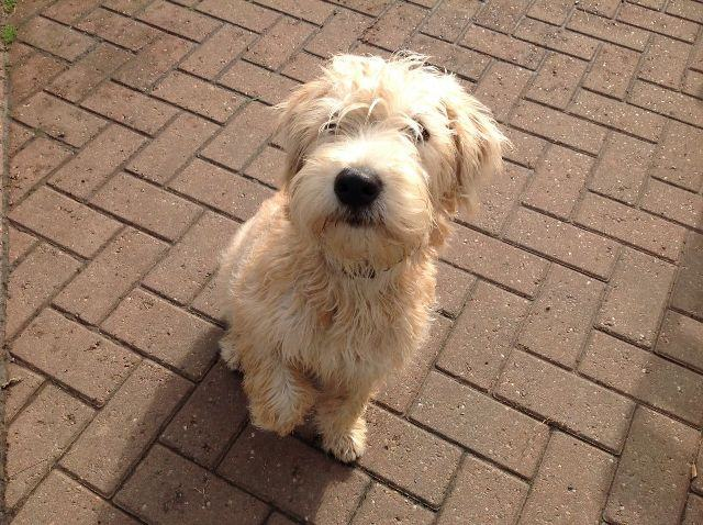 cao-irish-soft-coated-wheaten-terrier