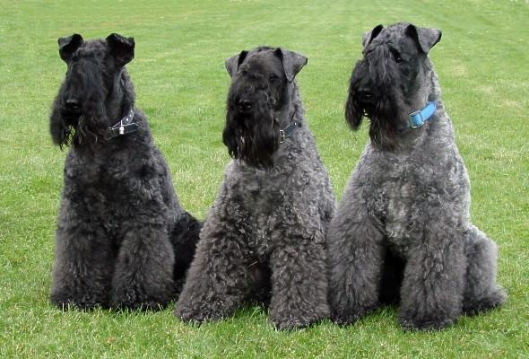 cao-kerry-blue-terrier