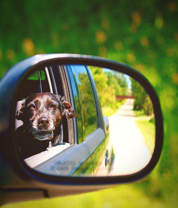 Cão olhando pelo retrovisor