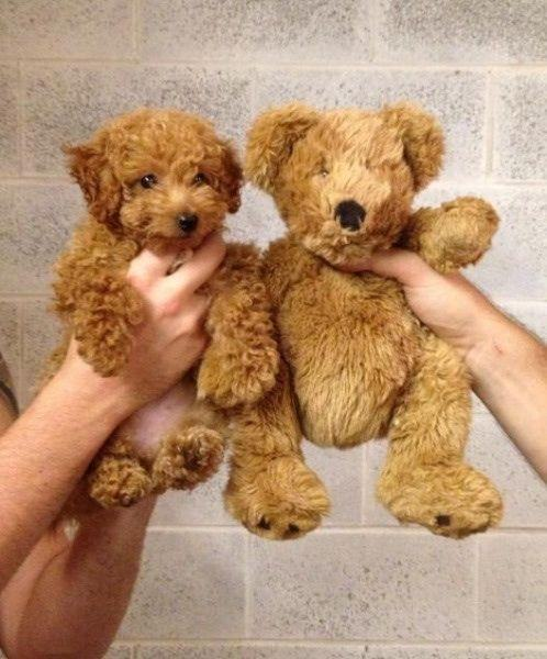 cao-poodle-ao-lado-de-ursinho-de-pelucia