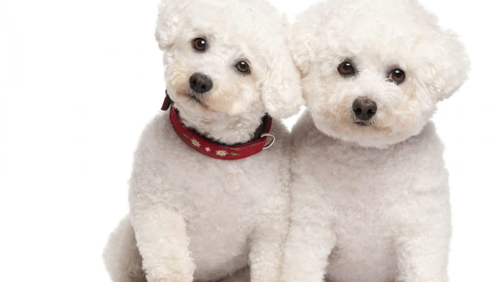 Cão poodle