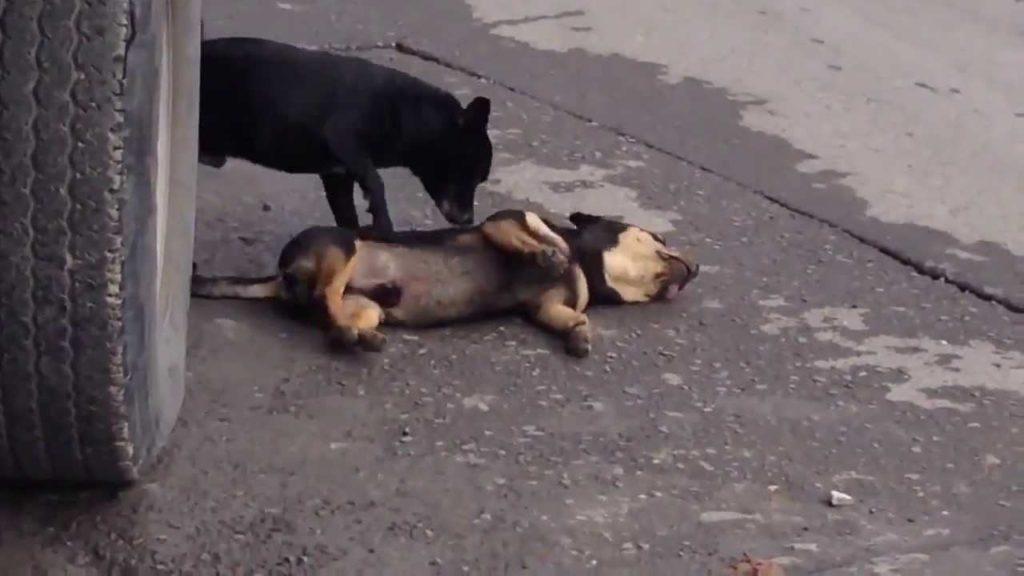 Como agir em casos de atropelamento de cães?