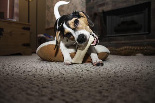 Como dar ossos aos cães corretamente?
