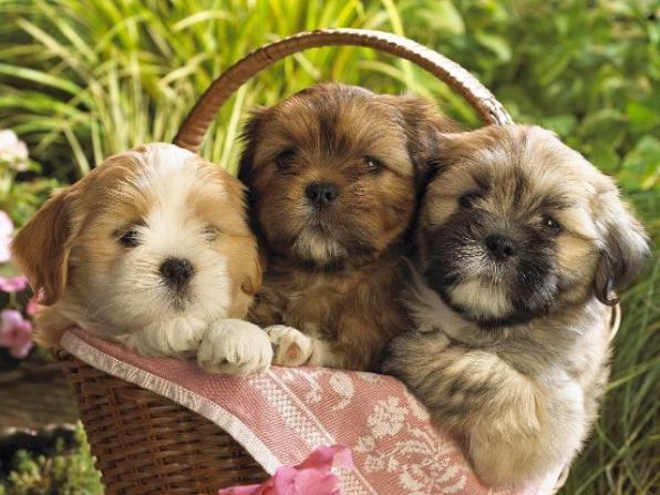 Conheça as raças de cães que latem pouco