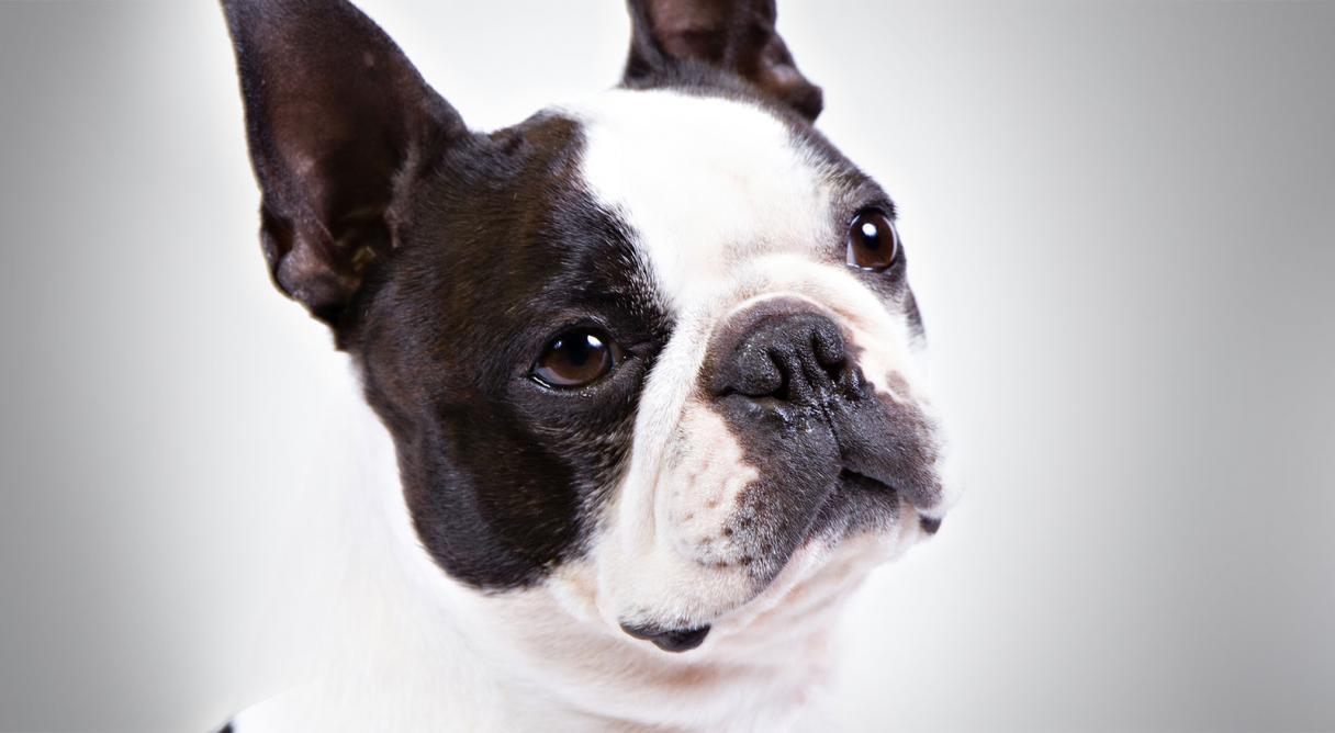 Conheça cães pequenos ideais para criar dentro de casa