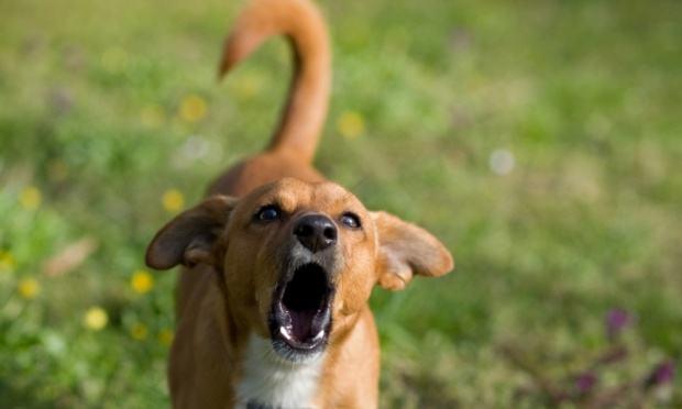 Descubra os significados dos latidos dos cachorros