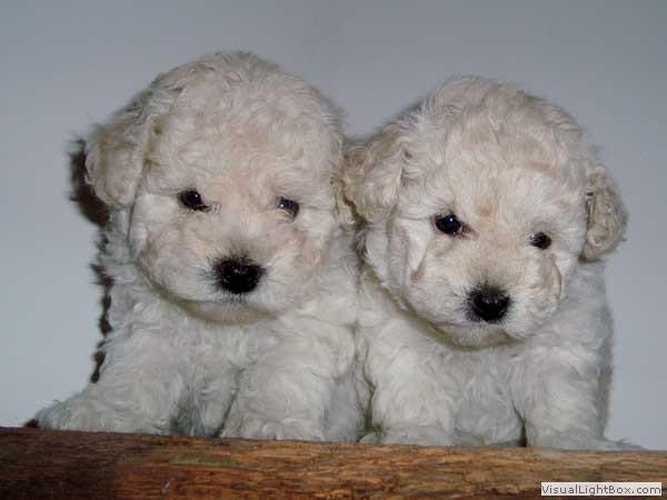 dupla-de-caes-poodle
