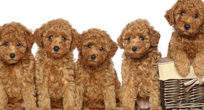 familia-de-caes-poodle