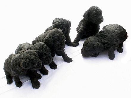 familia-de-filhotes-de-caes-poodle-pretos