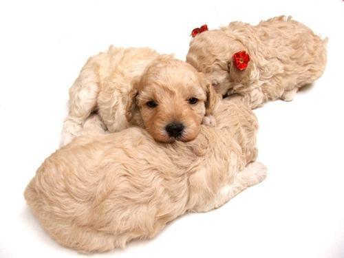 filhotes-de-poodle-deitados
