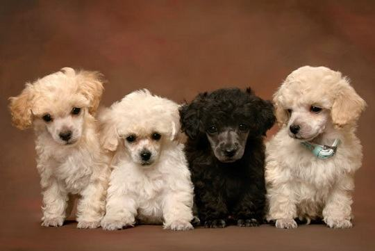 filhotes-de-poodle-juntinhos