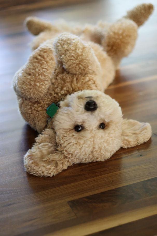 filhotinho-de-poodle-rolando-no-chao