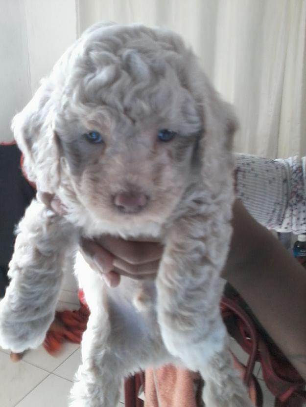 humano-segurando-poodle-branco