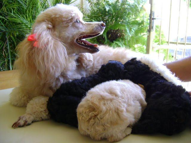 mae-poodle-com-filhotes