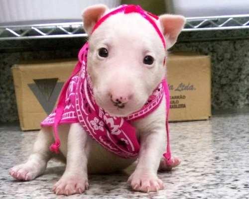 Mini filhotinho de bull terrier
