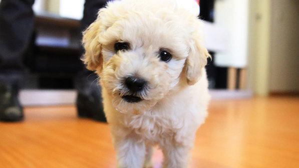 poodle-branco-olhando-para-foto