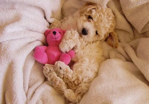 poodle-deitado-com-ursinho-de-pelucia