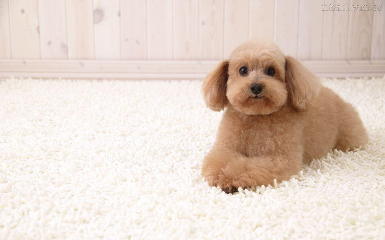 poodle-deitado-em-tapete