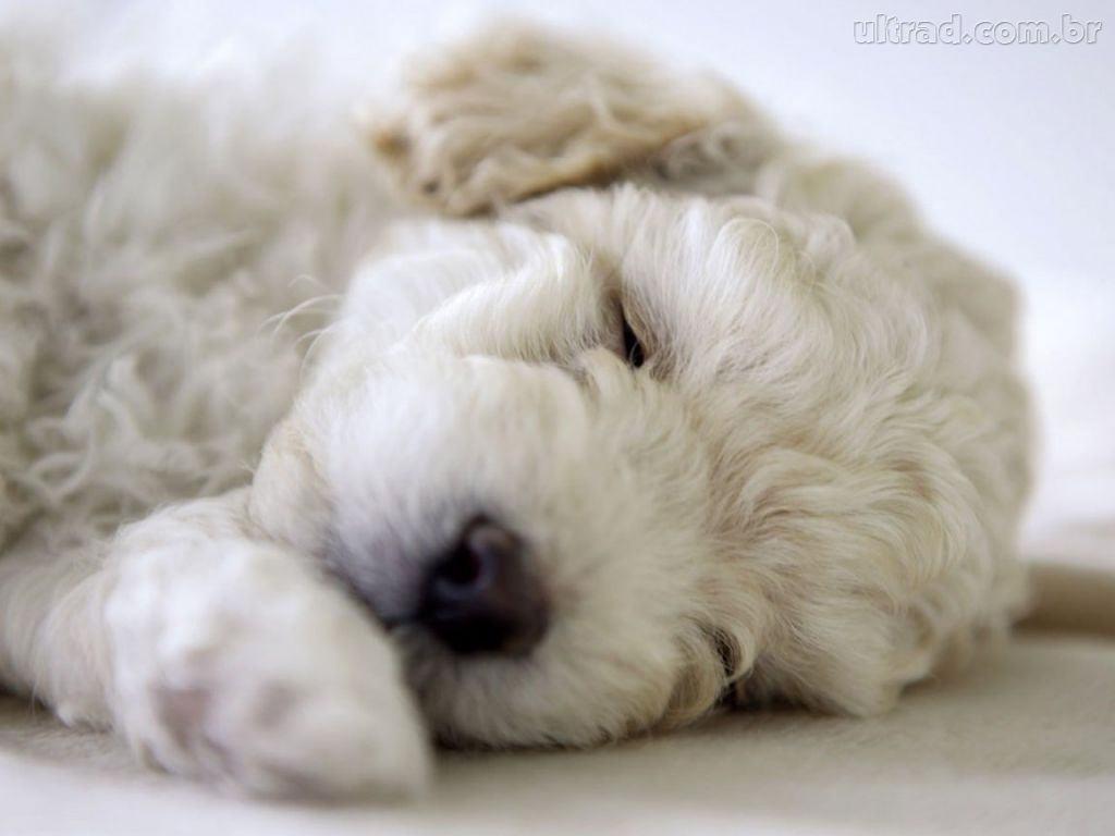 poodle-dormindo