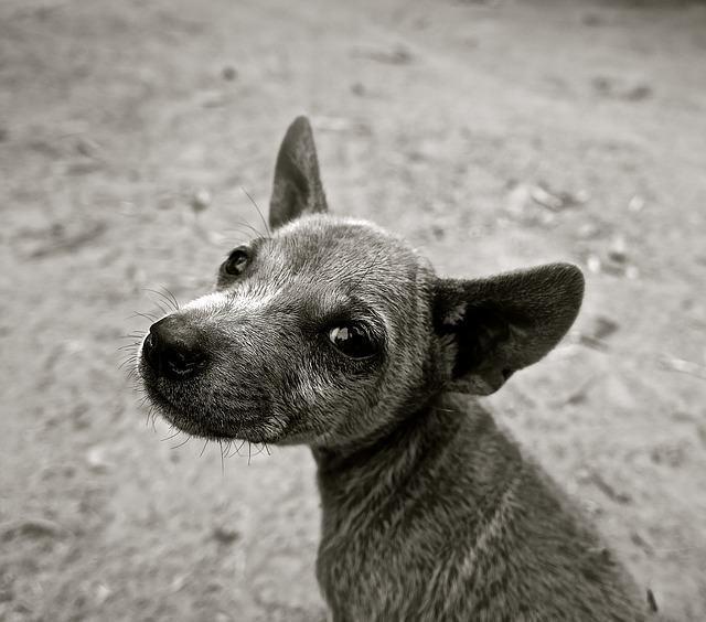 Por que o cachorro vira a cabeça quando falamos com ele?