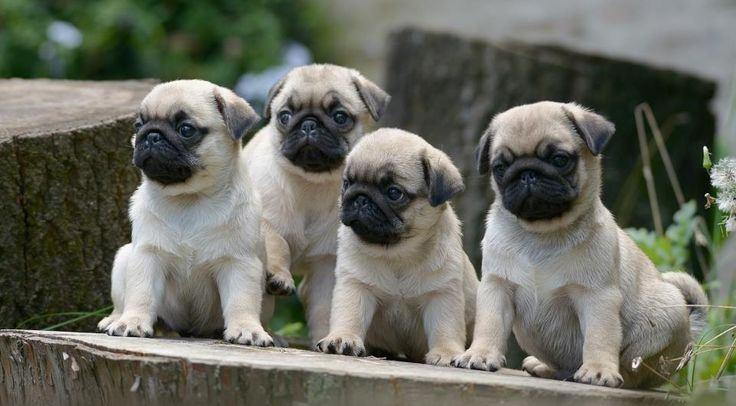 quarteto-de-pugs-curiosos