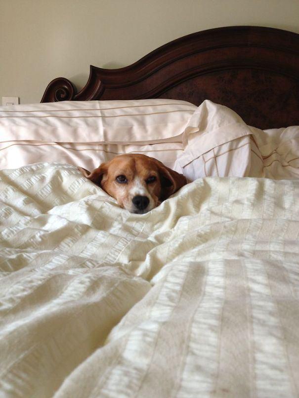cachorro-preguiça-na-cama