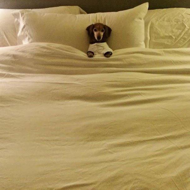 cachorro-pequeno-cama-grande