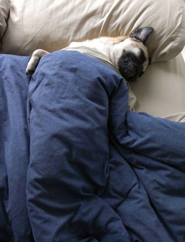bulldogue-enrolado-cama