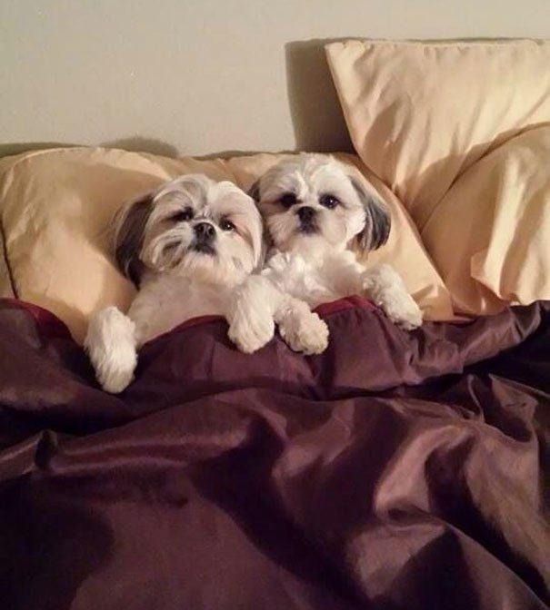 casal-caes-deitados-cama