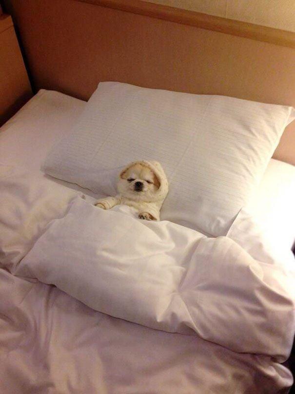 cãozinho-deitado-enrolado-casaco-dormindo