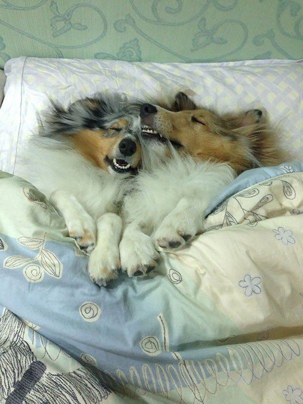 casal-de-cães-dormindo-juntos-na-cama