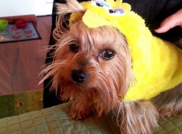 cachorro-fantasia-amarela