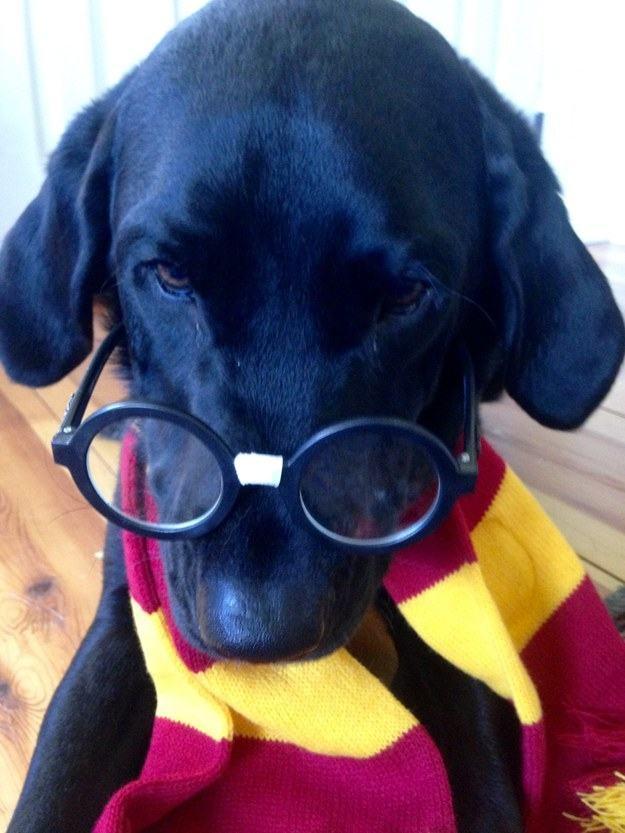 cachorro-fantasia-de-listras-e-oculos