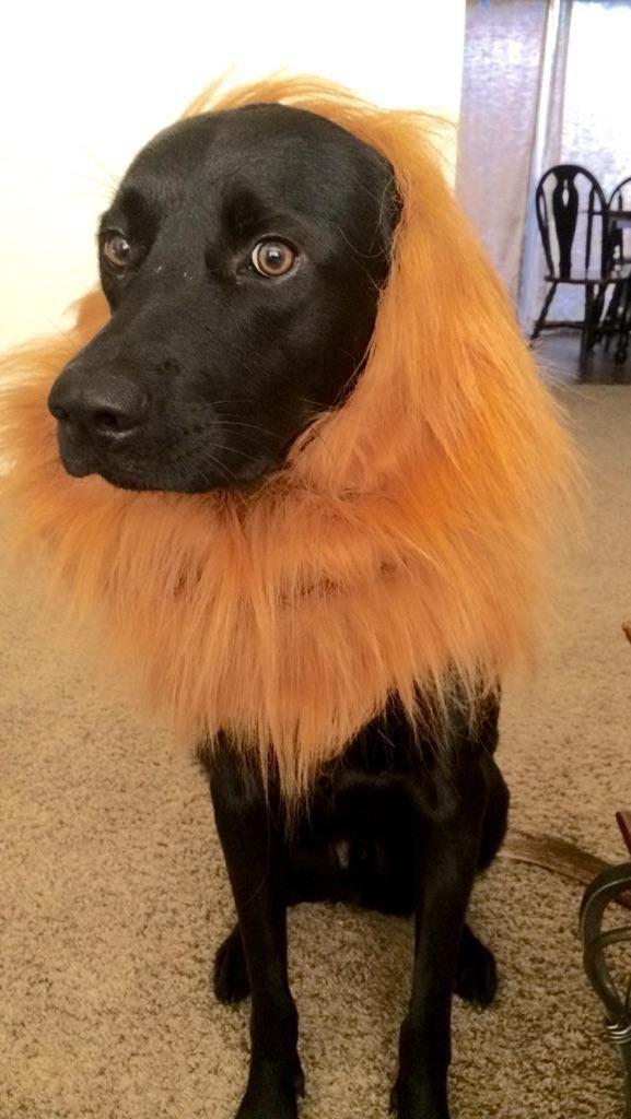cachorro-fantasia-leao