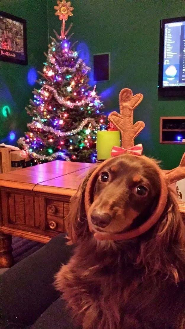 18 Cãezinhos Que Já Entraram No Clima Do Natal Clube Para