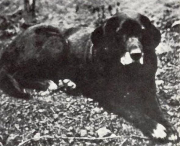 Cão D'água St. John