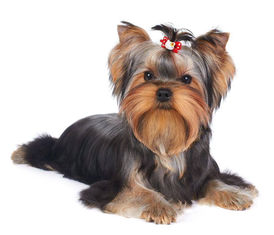 Cão yorkshire terrier