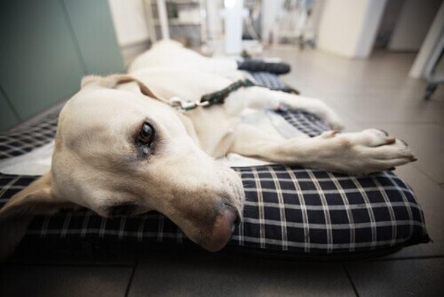 Colapso em cães: o que fazer?