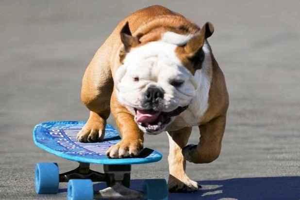 Morre cão skatista que entrou para o Livro dos Recordes