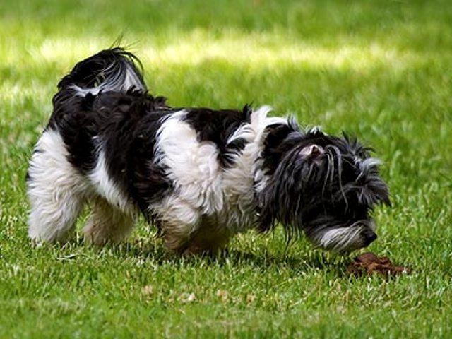Saiba por que o cão come as próprias fezes