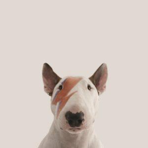 jimmy-bull-terrier-david-bowie-cachorro
